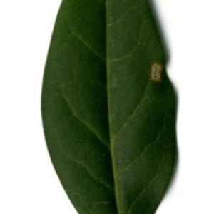 Photographie n°202128 du taxon Ligustrum vulgare L. [1753]