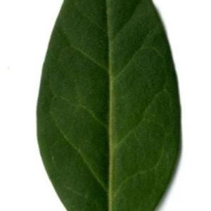 Photographie n°202129 du taxon Ligustrum vulgare L. [1753]