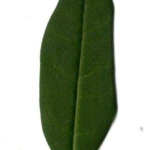 Photographie n°202130 du taxon Ligustrum vulgare L. [1753]