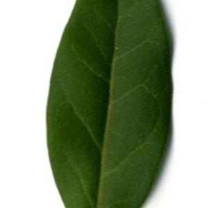 Photographie n°202131 du taxon Ligustrum vulgare L. [1753]