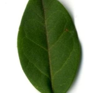 Photographie n°202132 du taxon Ligustrum vulgare L. [1753]