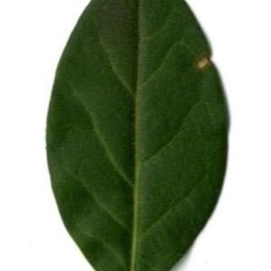 Photographie n°202133 du taxon Ligustrum vulgare L. [1753]