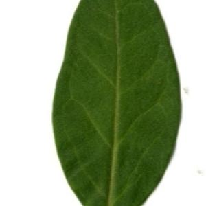 Photographie n°202136 du taxon Ligustrum vulgare L. [1753]