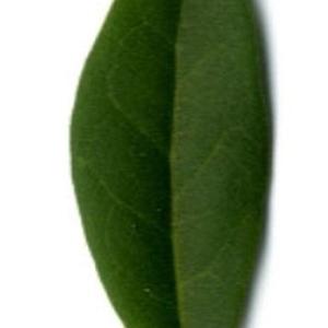Photographie n°202137 du taxon Ligustrum vulgare L. [1753]