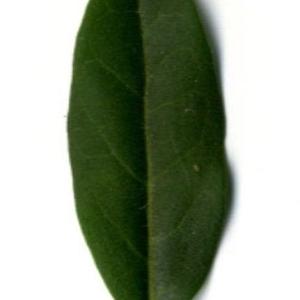 Photographie n°202138 du taxon Ligustrum vulgare L. [1753]