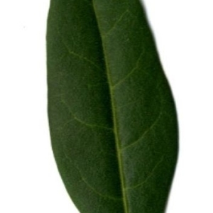Photographie n°202140 du taxon Ligustrum vulgare L. [1753]