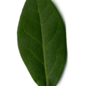 Photographie n°202142 du taxon Ligustrum vulgare L. [1753]