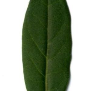 Photographie n°202144 du taxon Ligustrum vulgare L. [1753]