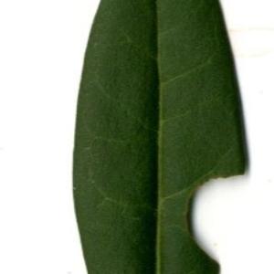 Photographie n°202145 du taxon Ligustrum vulgare L. [1753]