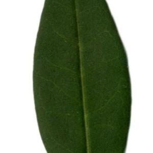 Photographie n°202146 du taxon Ligustrum vulgare L. [1753]
