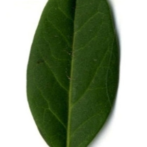 Photographie n°202147 du taxon Ligustrum vulgare L. [1753]