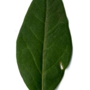 Photographie n°202148 du taxon Ligustrum vulgare L. [1753]