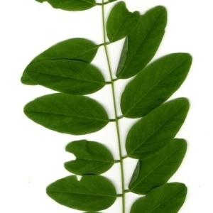 Photographie n°202149 du taxon Robinia pseudoacacia L.