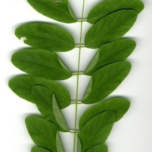 Photographie n°202150 du taxon Robinia pseudoacacia L.