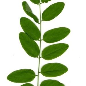 Photographie n°202151 du taxon Robinia pseudoacacia L.