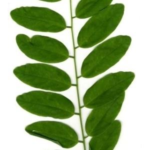 Photographie n°202152 du taxon Robinia pseudoacacia L.