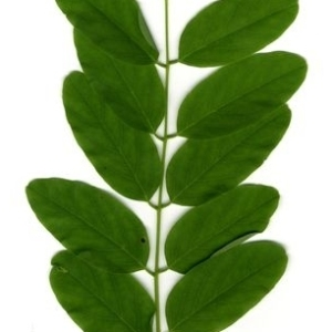 Photographie n°202153 du taxon Robinia pseudoacacia L.