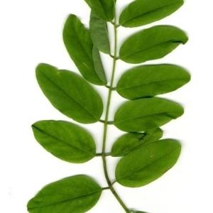 Photographie n°202155 du taxon Robinia pseudoacacia L.