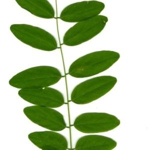 Photographie n°202156 du taxon Robinia pseudoacacia L.