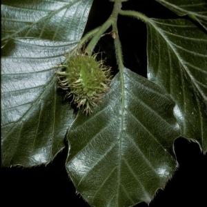 Photographie n°202180 du taxon Fagus sylvatica L.