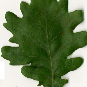 Photographie n°202212 du taxon Quercus pubescens Willd. [1805]
