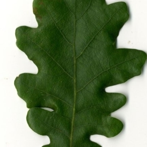 Photographie n°202213 du taxon Quercus pubescens Willd. [1805]