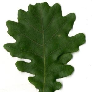Photographie n°202214 du taxon Quercus pubescens Willd. [1805]