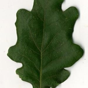Photographie n°202216 du taxon Quercus pubescens Willd. [1805]