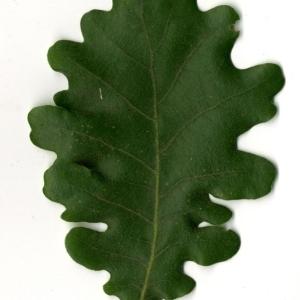 Photographie n°202217 du taxon Quercus pubescens Willd. [1805]