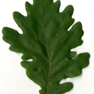Photographie n°202218 du taxon Quercus pubescens Willd. [1805]