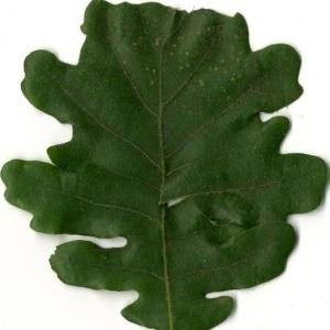 Photographie n°202220 du taxon Quercus pubescens Willd. [1805]