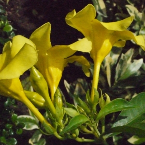 Allamanda cathartica L. (Allamanda)