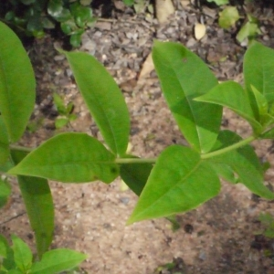 Photographie n°202421 du taxon Allamanda violacea Gardner & Fielding