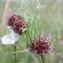 Jean-Claude Echardour - Allium vineale subsp. compactum (Thuill.) Berher [1887]