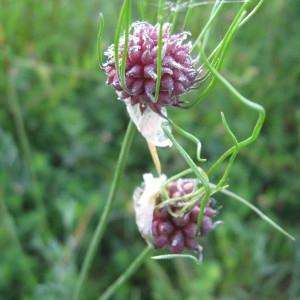 Photographie n°202476 du taxon Allium vineale subsp. compactum (Thuill.) Berher [1887]
