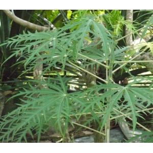 Jatropha multifida L. (Noisette purgative)