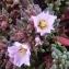 Ans Gorter - Frankenia pulverulenta