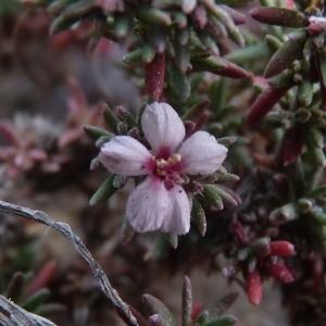 Frankenia condensata Sennen (Frankénie annuelle)
