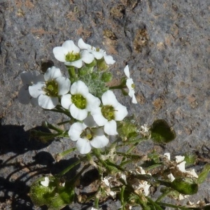 Lobularia canariensis (DC.) L.Borgen