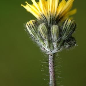 - Hieracium caespitosum Dumort.