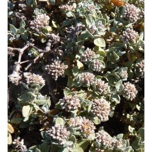 Polycarpaea nivea Webb