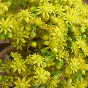 Aeonium arboreum (L.) Webb & Berthel. (Aeonio)