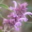 Ans Gorter - Salvia canariensis L. [1753]