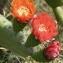 Ans Gorter - Opuntia ficus-indica