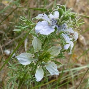 Photographie n°202948 du taxon Nigella hispanica var. parviflora Coss.