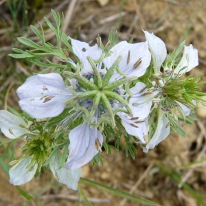 Photographie n°202949 du taxon Nigella hispanica var. parviflora Coss.