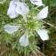 Ans Gorter - Nigella hispanica var. parviflora Coss.