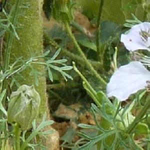 - Nigella hispanica var. parviflora Coss.