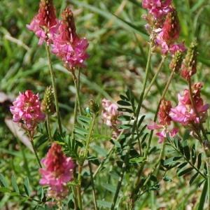 Onobrychis viciifolia Scop. subsp. viciifolia (Esparcette)