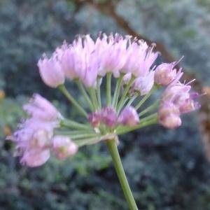 - Allium L. [1753]